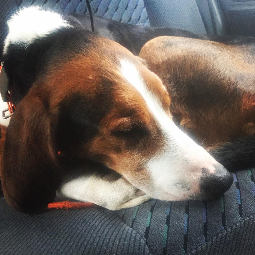 Banjo sover på väg hem efter två mycket bra prestationer under säsongens sista dag. tyvärr motsvarade inte jägarnas prestation hundens...