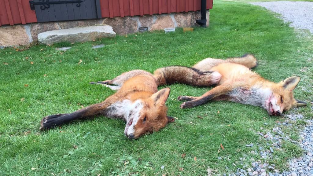 Tvenne fällda rävar efter en bra dag i Skåne