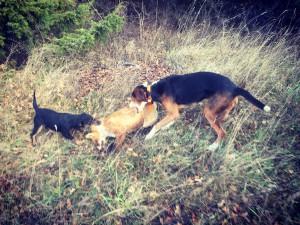 Banjo och Chilli firar segern efter att husse skjutit jaktens första räv