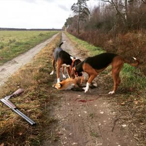 Husse satte punkt för räv nr.3 - en drevräv för Banjo och Foxy