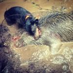 Husse, Quilla och grisen var lika leriga...