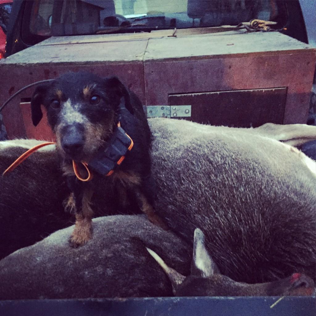 Belåten Chilli efter sista såten - bilden är från en jakt härom veckan. Nog levde hon ett rikt terrierliv!