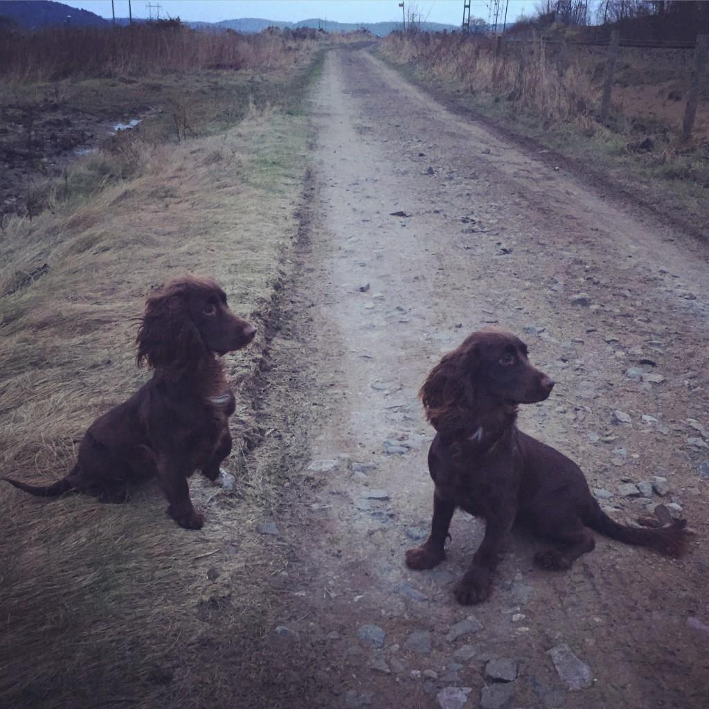 Cockersystrarna Peggy och Tea väntar på nyårsänderna