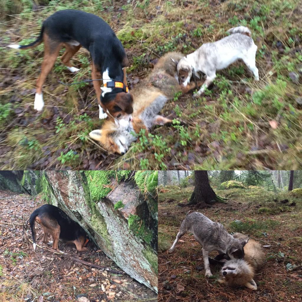Ännu en sörmlandsräv förpassad till de sälla jaktmarkerna efter teamwork av Banjo och Tira